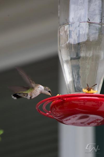 Hummingbird-1921.jpg
