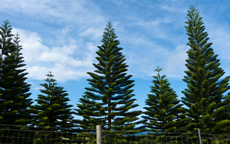 "Norfolk pine trees, also known as the ""Hawaiian Christmas Tree"", growing on Kohala Mountain Road."