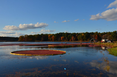 Cranberry Harvest Carlisle MA Oct 13