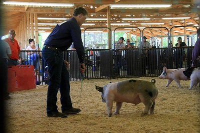 Senior Swine Showmanship Sunday