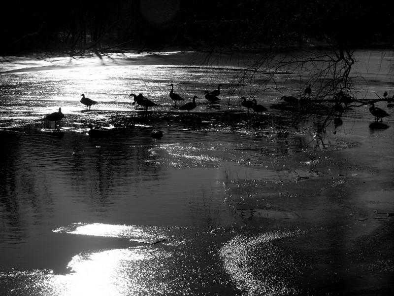 geese on frozen delaware canal.jpg