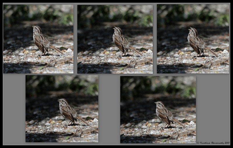 Collage of Song Sparrow singing, San Joaquin Marsh, Orange County, Los Angeles, California, May 2010. The song can be heard on this page:  http://www.allaboutbirds.org/guide/Song_Sparrow/sounds