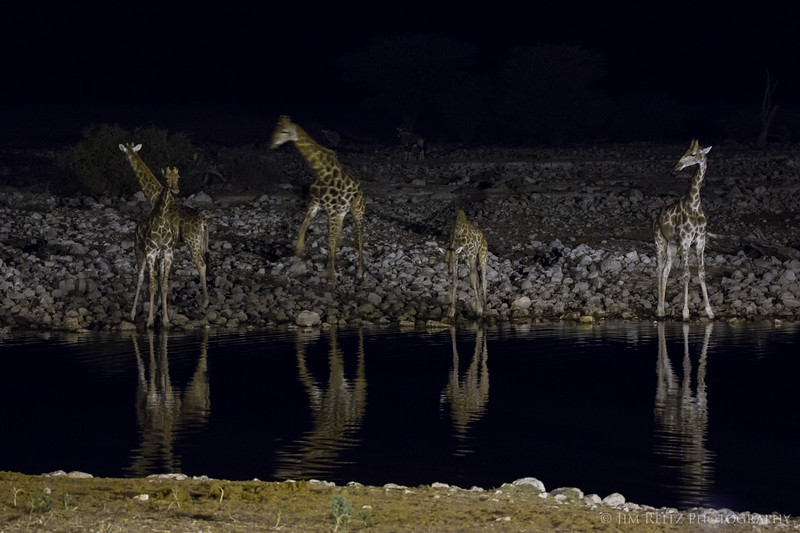 Giraffes pay a night time visit to the water hole - Etosha National Park, Namibia.