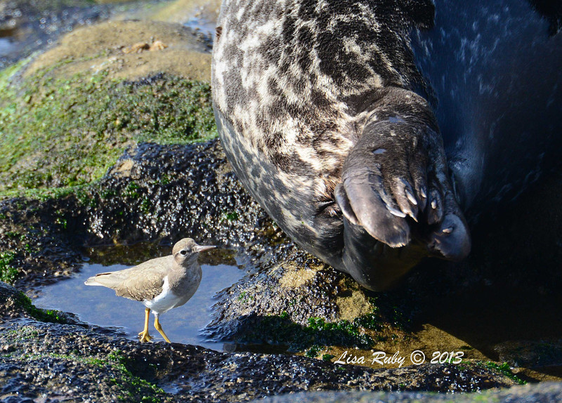 Spotted Sandpiper hunting for bugs on a Seal - 12/1/13 - La Jolla Cove