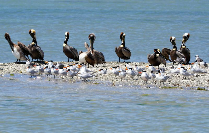 pelicansandroyalterns.jpg