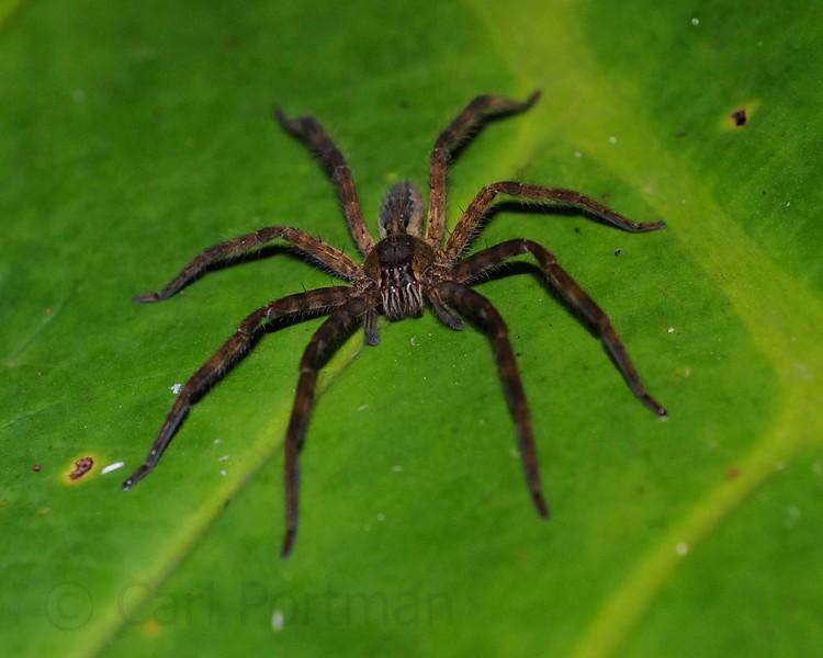 Wolf spider on leaf.jpg