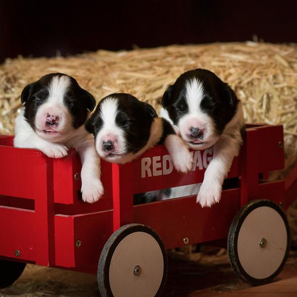 20141026_Redwagon_border collie puppies.jpg