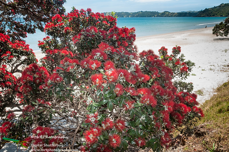 Blooming red pohutukawa tree with Onetangi Beach in the background