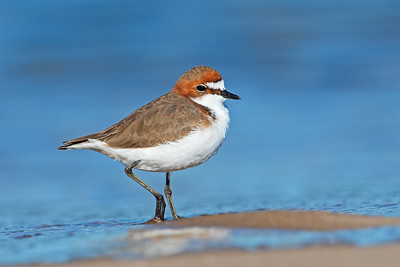 Shorebirds or Waders