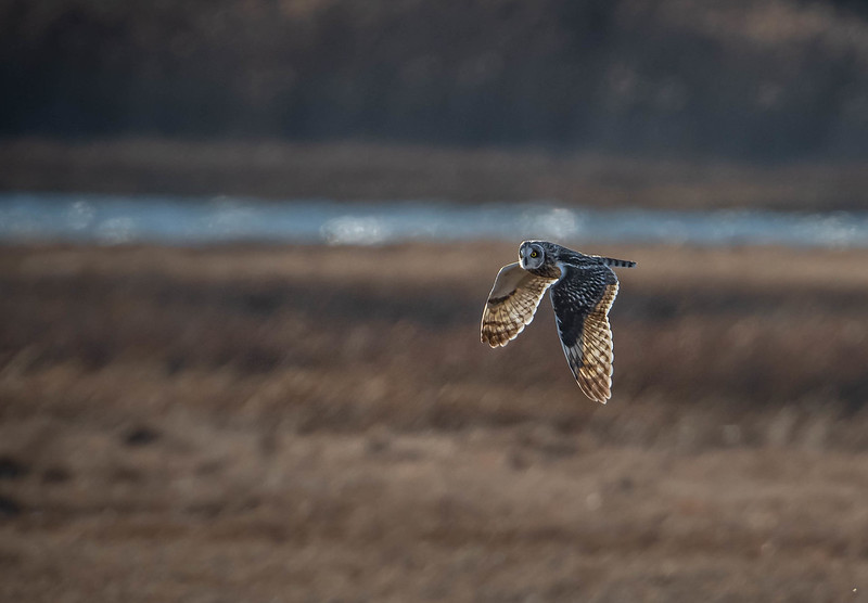 Short-eared Owl for website cover