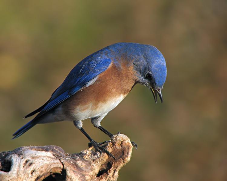 bluebird_8313.jpg