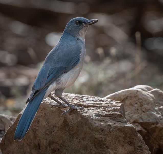 Mexican Jay (in AZ)