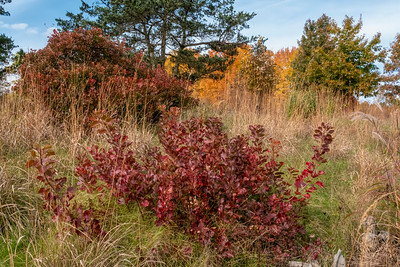 Shrubs, miscellaneous, in fall