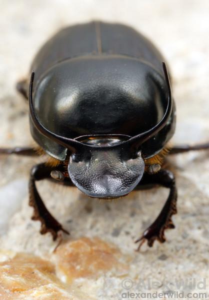 Onthophagus taurus, dung beetle.  filename: taurus2