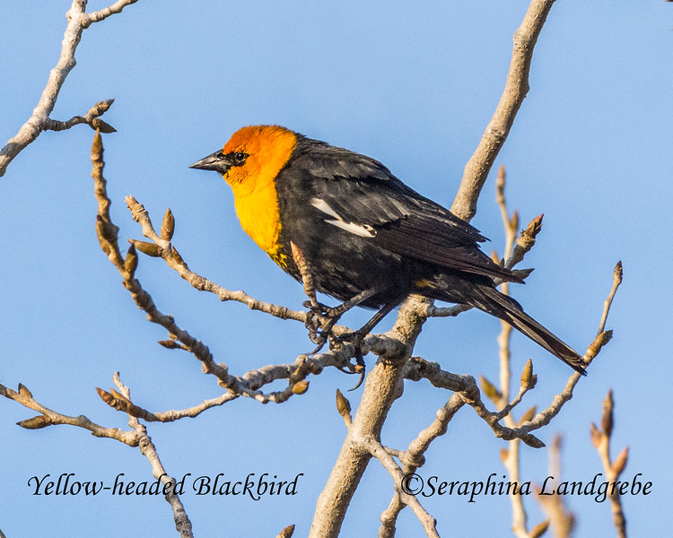 _DSC8835Yellow-headed Blackbird.jpg
