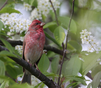 Punavarpunen (Carpodacus erythrinus)