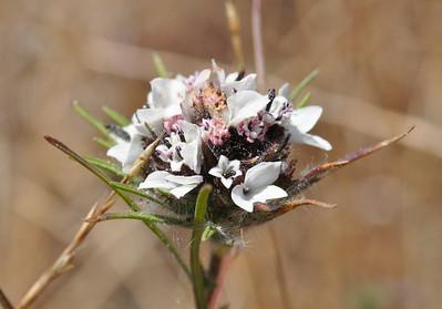 Redwood Regional Park - Serpentine Prairie - flowers - 6/30/10