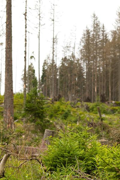 Přirozená obnova lesa.