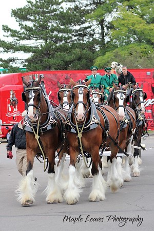 2018-09-09 Budweiser Clydesdales