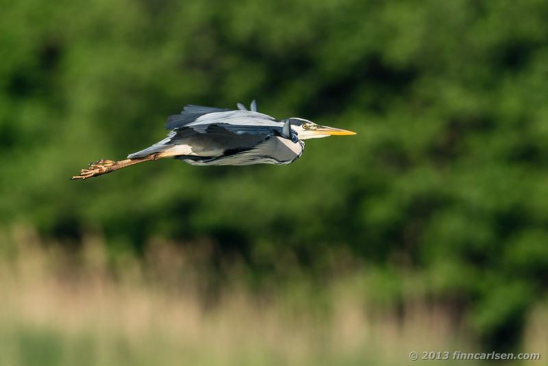 Fiskehejre (Grey Heron - Ardea cinerea)