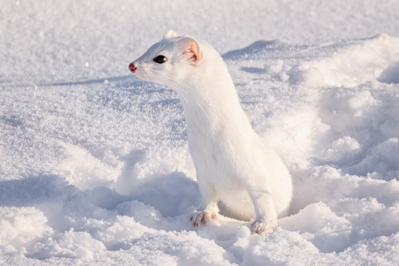 Winter Weasel - 8x12 Metal Print $70