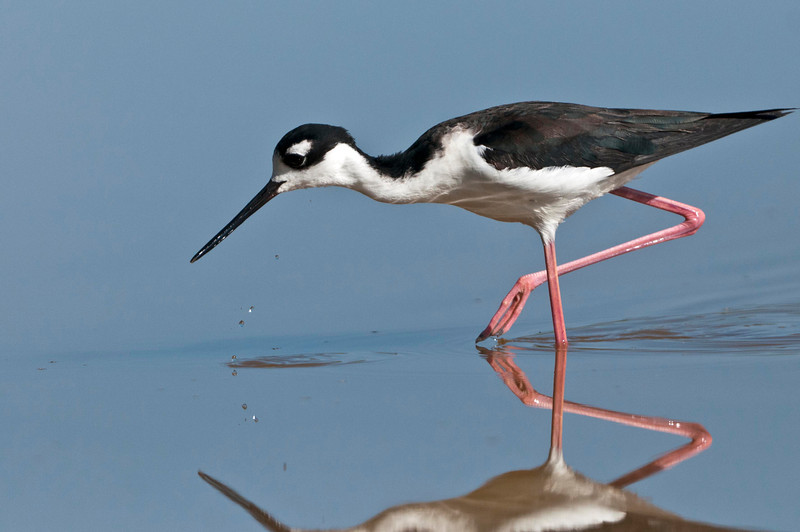 Black-Necked Stilt Eco Pond, Flamingo, Everglades National Park Florida © 2013