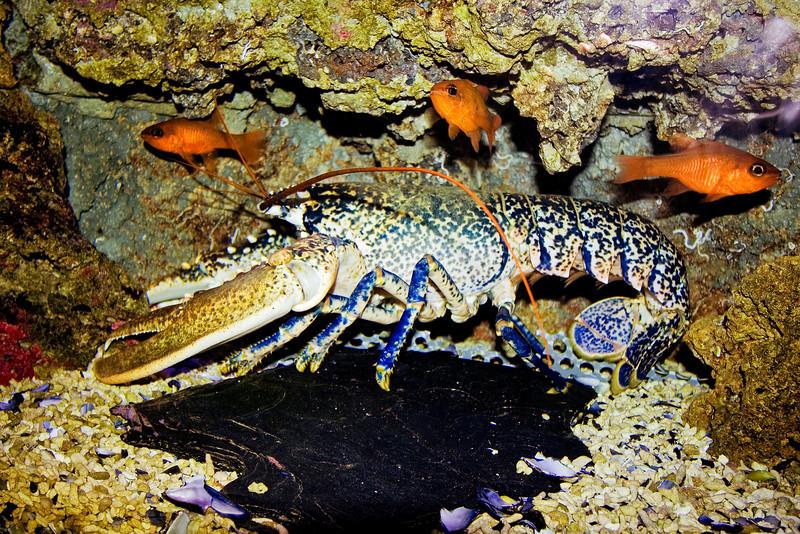 Big blue Lobster.jpg