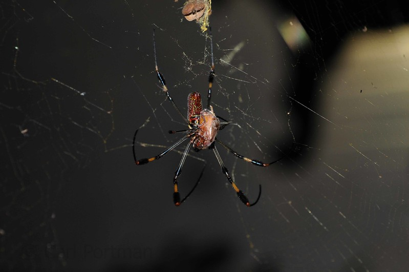 Nephila feeding on beetle.JPG