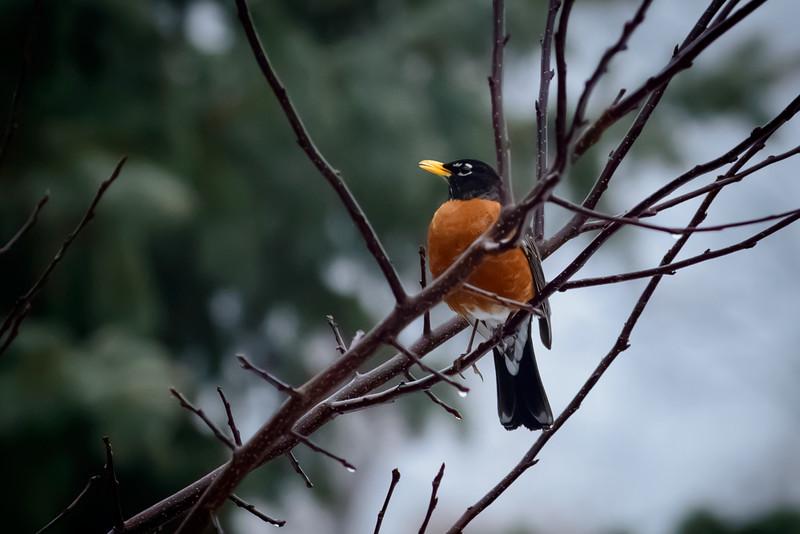 Robin-8041.jpg