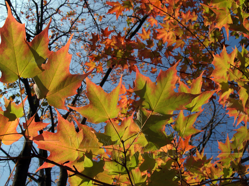 Back-lit sugar maple leaves (acer saccharum) changing color in October