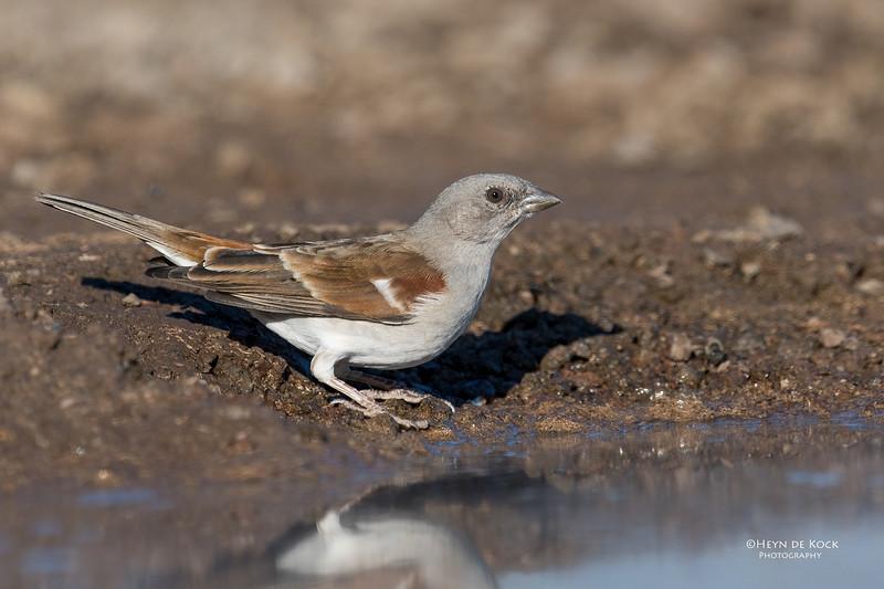 Southern Grey-headed Sparrow, Mashatu GR, Botswana, May 2017-1.jpg