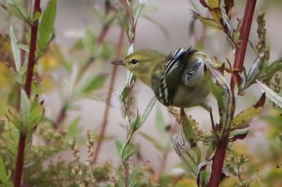 Star Island Birding Weekend Fall 2014