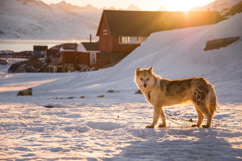 Sledge dog at sunset, Kuummiit, East Greenland
