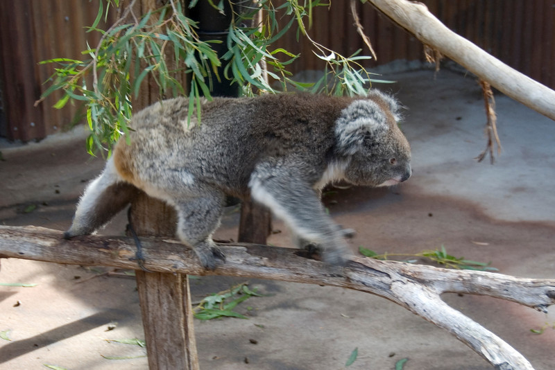 Koala Moving at a Blur - Tasmania, Australia