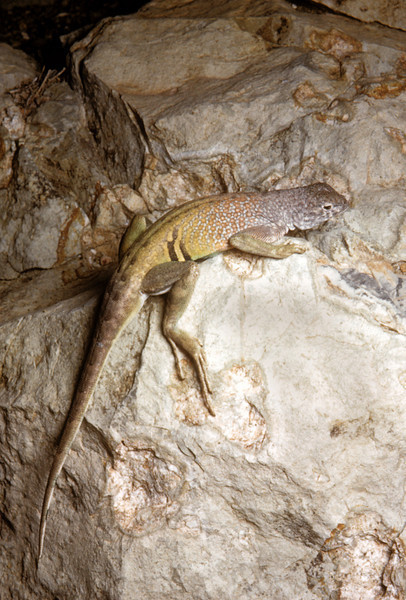 Greater Earless Lizard (Cophosaurus texanus) Big Bend National Park, TX, 1958