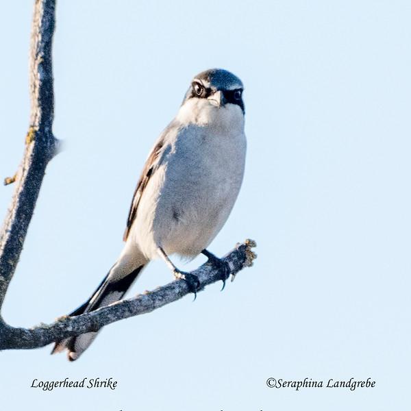 _DSC1879Loggerhead Shrike.jpg