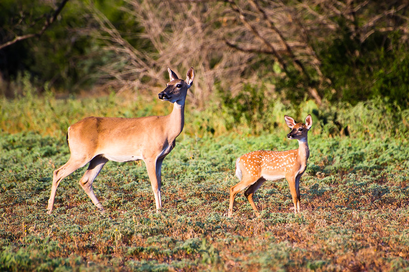 Mother Doe and Fawn