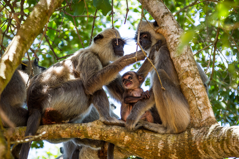 Grey Langur / Hanuman Langur, (Semnopithecus entellus) male grooming female, with baby, Yalla National Park, Sri Lanka