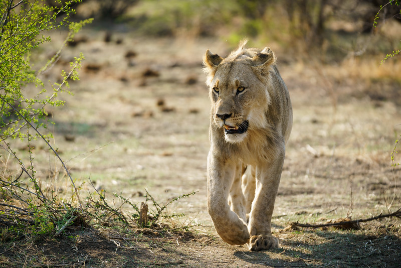 Prowling Male Lion