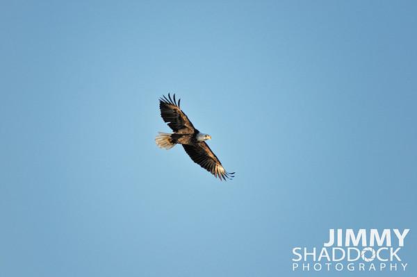 Eagle at Lake Atalanta Jan 7 & 14