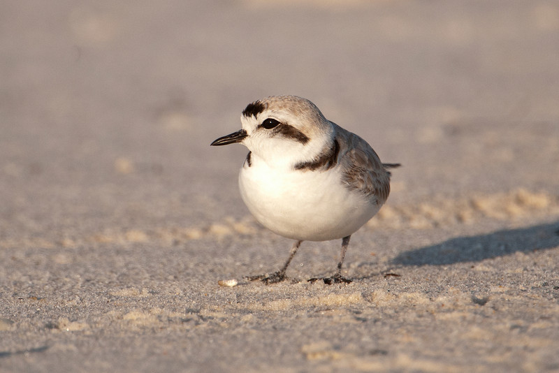 Plover - Snowy - St. George Island State Park, FL - 12