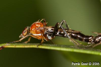 Bulk-shouldered Robber Fly
