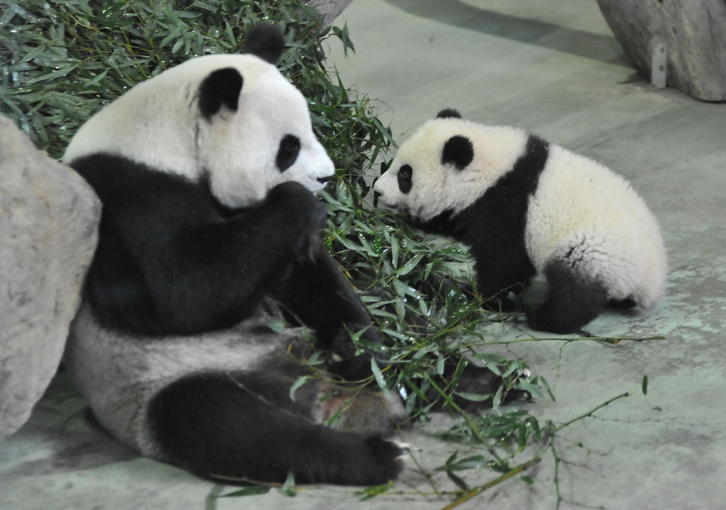 . Yuan Zai (R) , the first Taiwan-born baby panda, walks past as her mother Yuan Yuan as she eats inside an enclosure at the Taipei City Zoo on January 6, 2014.  Yuan Zai, who weighed 180 grams (6.35 ounces) at birth, now weighs about 14 kilos (31 lbs) and make made her anticipated public debut as she turned six months old.      Mandy Cheng/AFP/Getty Images