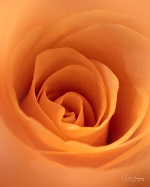 Peach Rose II
