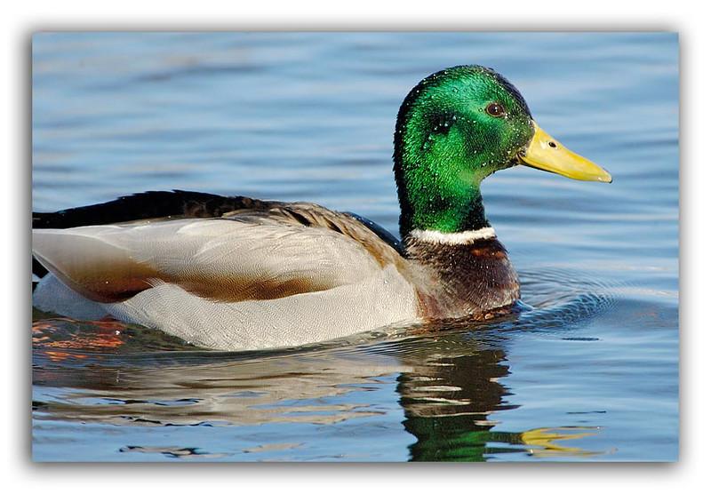 Male Duck 2.jpg