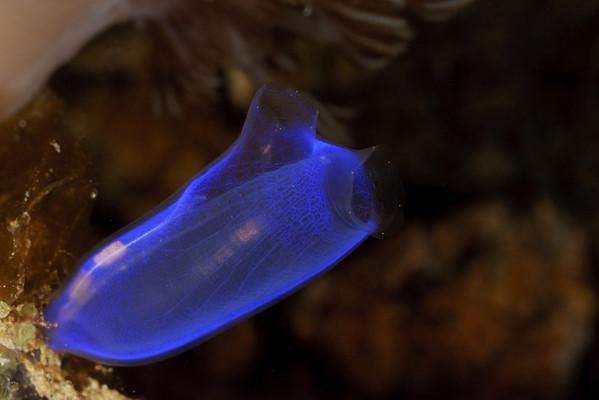 Tunicates of Anilao