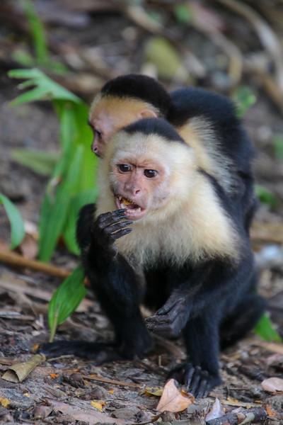 Capuchin Monkey in Costa Rica at the Beach