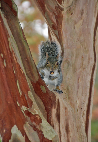 Squirrel on crepe