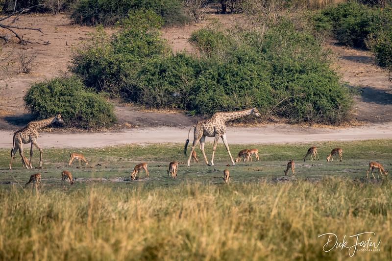 Giraffes and Impallas
