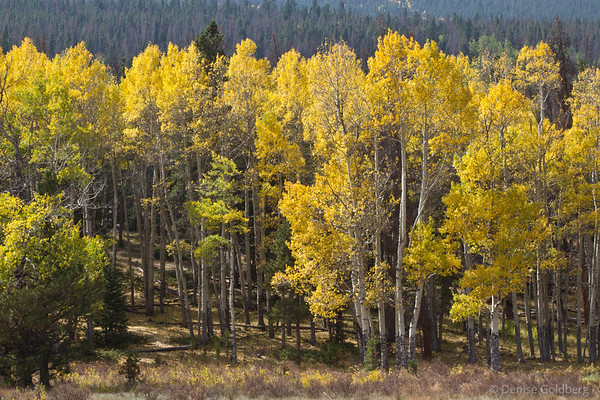 aspen in bright yellow, arrival date